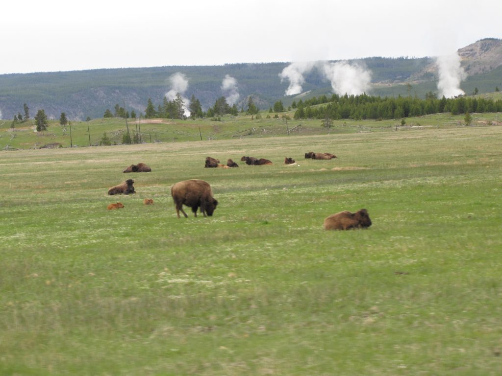 Buffalo cows and calves feed and rest on the warm ground near the geyser basin. Several fumaroles are venting steam in the background.