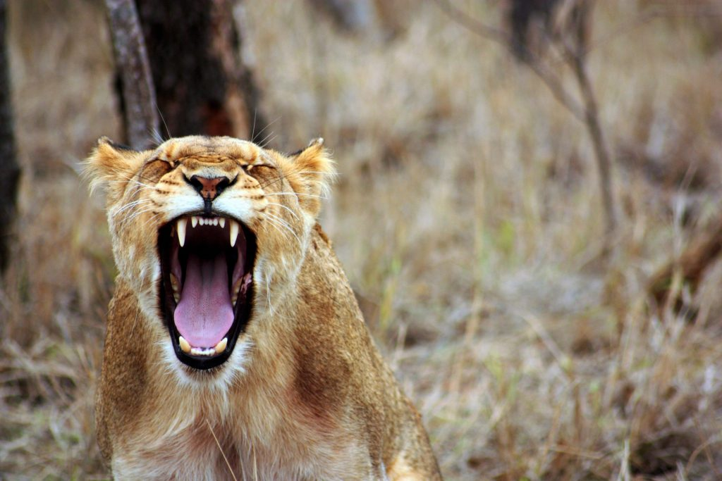 An angry lioness roars.