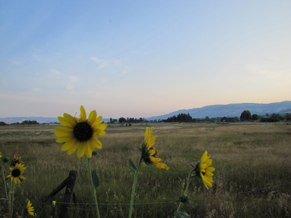 A late summer pasture with mountains in the background and wild sunflowers to the fore.